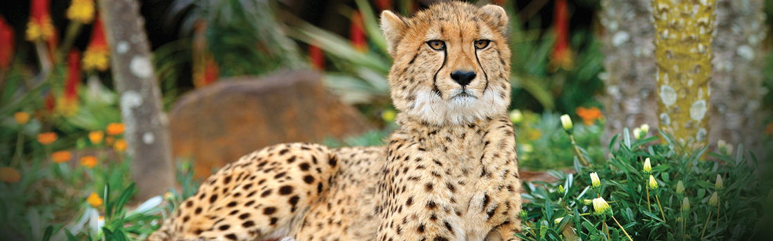 Cheetah laying on the ground looking at the camera with flowers and trees in the background.