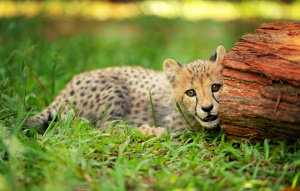 Baby cheetah laying in the grass half behind a red rock.