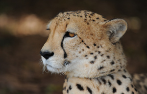 Cheetah looking to the right from neck up.