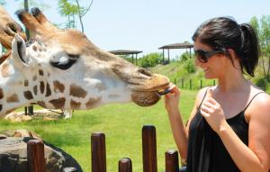 Female visitor feedings a Giraffe.