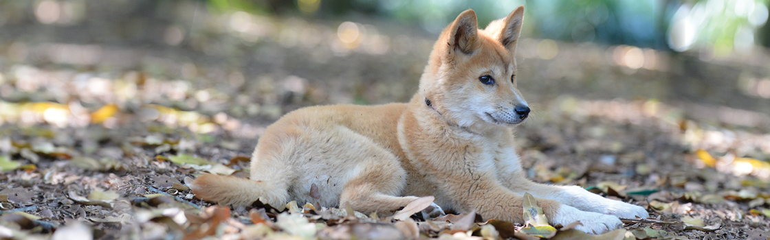 Dingo sitting on the ground looking left.