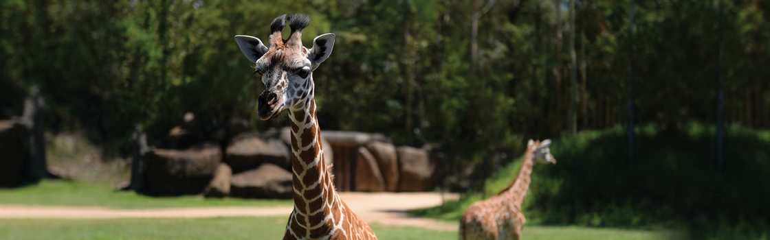 Giraffe from neck up facing camera with second giraffe walking away in background.
