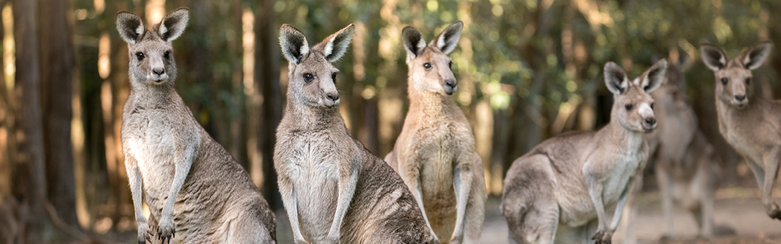 Five Eastern Grey Kangaroos standing and looking into the distance.