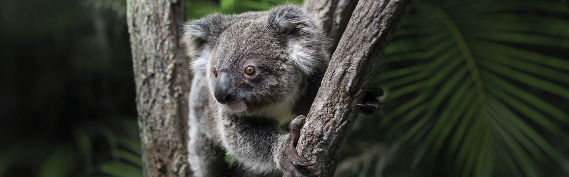 Koala perched in a tree looking to the right.
