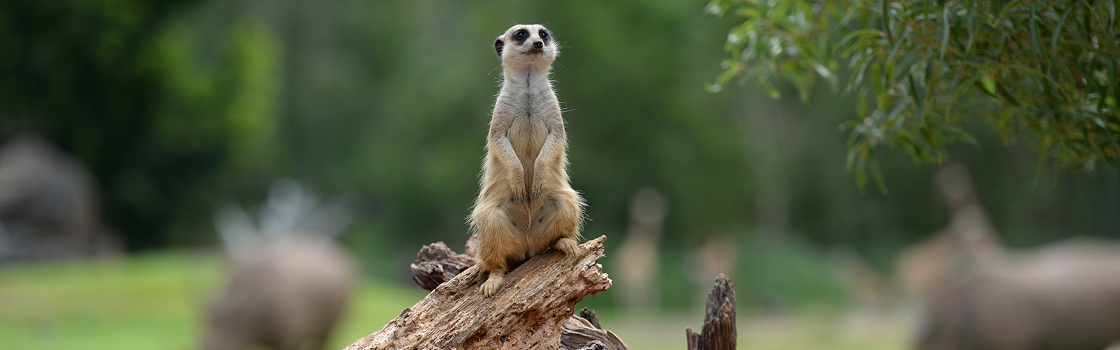 Meerkat perched on a branch looking out.