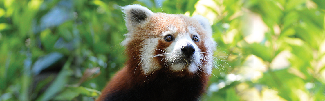 Close up of a Red Panda looking to the left.