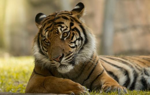 Reggie Sumatran Tiger