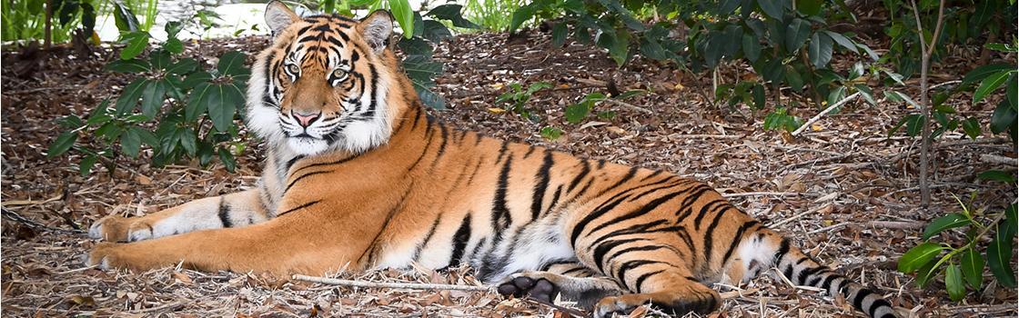 Sumatran Tiger laying on the ground and looking at the camera.