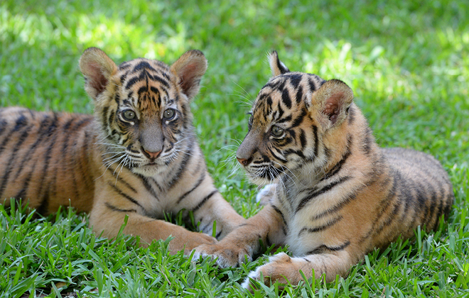 Two Sumatran Tiger subs laying in the grass together.