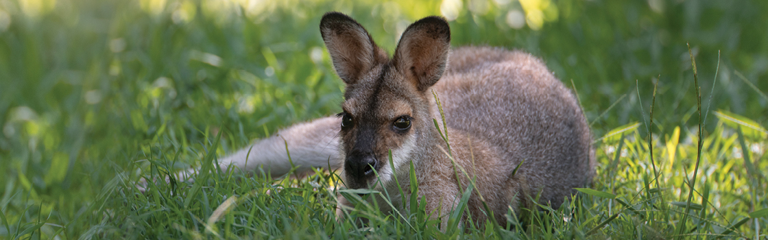 Red-Necked Wallaby laying in the grass looking at the camera.
