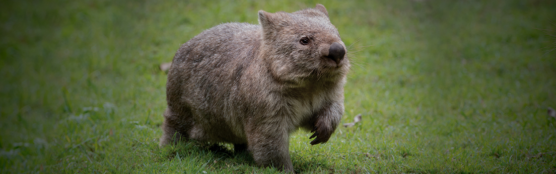 Common Wombat in the grass with paw up.