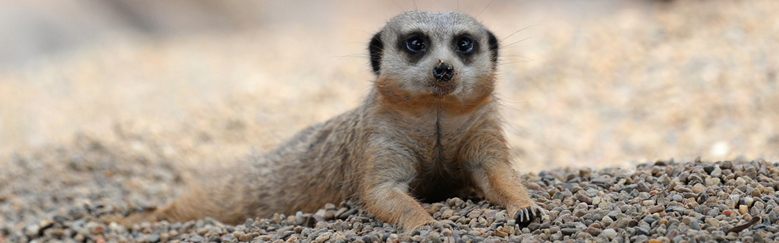 Meerkat laying on the ground.