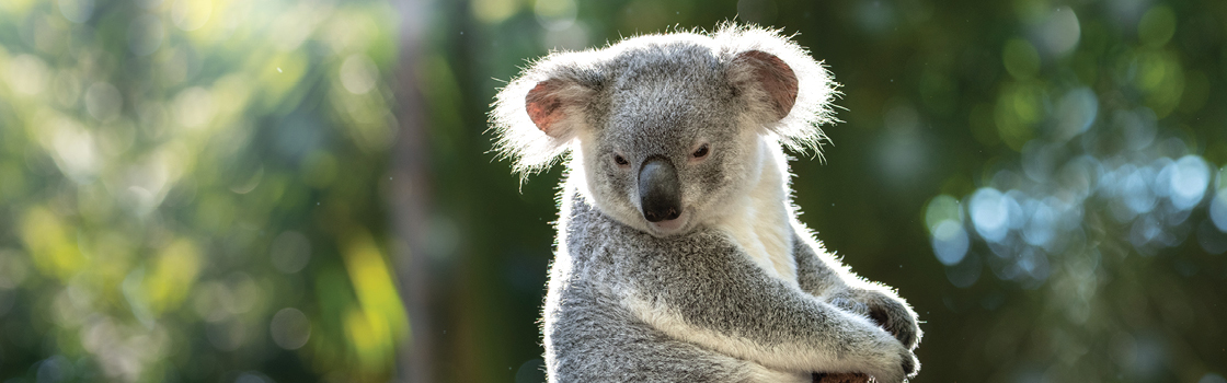 Koala at the top of a branch.