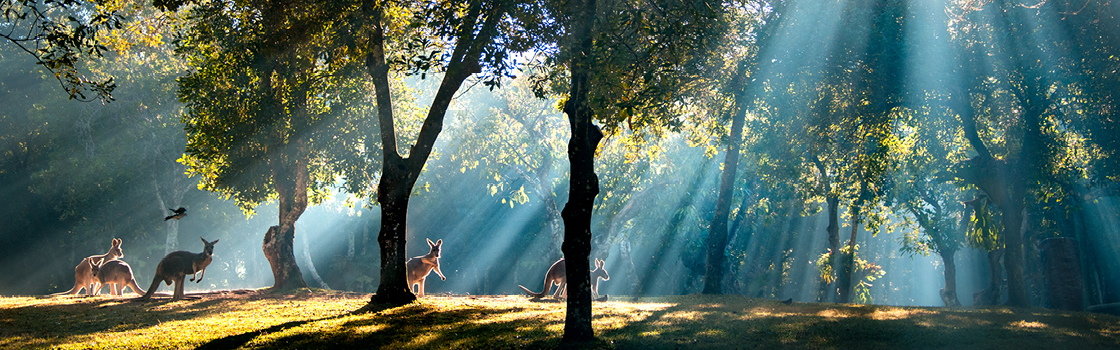 Kangaroos standing between trees with sun coming down through leaves.