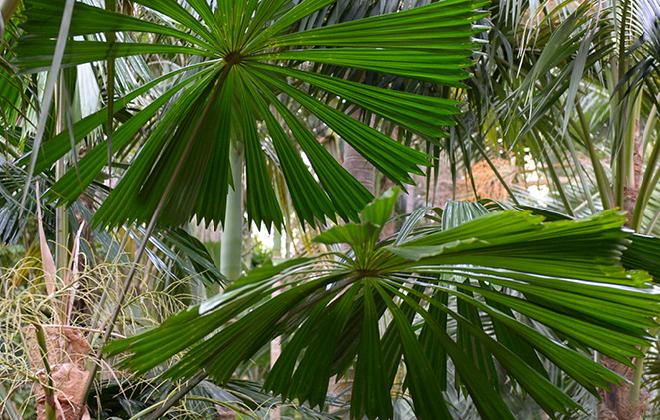 Australian Fan Palm Flora