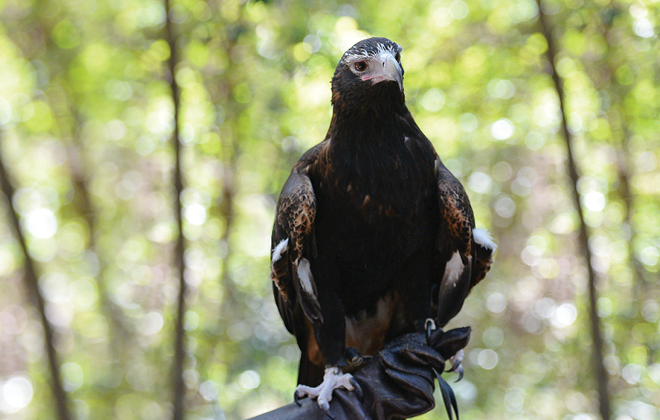 Ace the Wedge-tailed Eagle on the hand of a zookeeper.