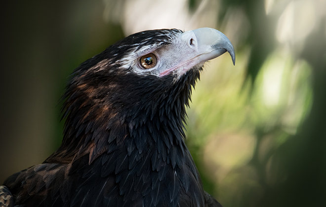 Ace the Wedge-tailed Eagle from neck up looking to the left.