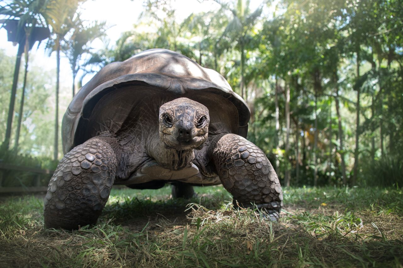 A Tortoise looking directly at the camera.