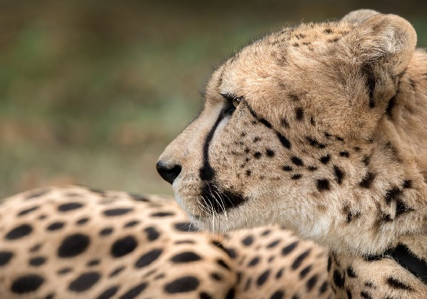Lawrence the Cheetah laying on grass