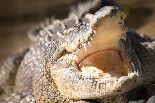 Agro the Saltwater Crocodile with his mouth open showing all his teeth.