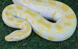 Alimah the Burmese Python on the grass from above.