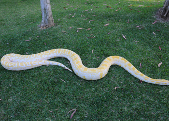 Alimah the Burmese Python on the grass from above with full body extended.