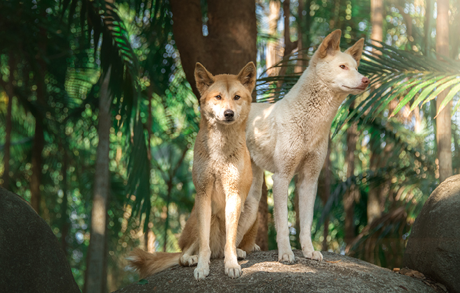 Archie the Alpine Dingo with another Dingo standing.
