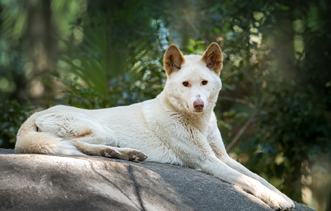 Archie the Alpine Dingo laying on top of a big rock.