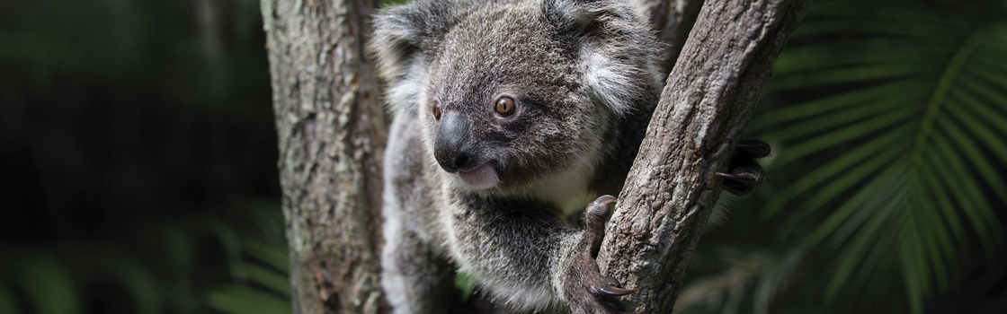 Bert the Koala in between two tree branches looking right.