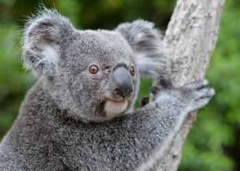 Bert the Koala up close to show his face.