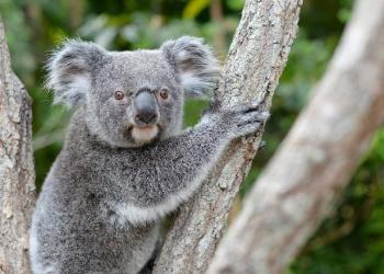 Bert the Koala in a tree looking at the camera.