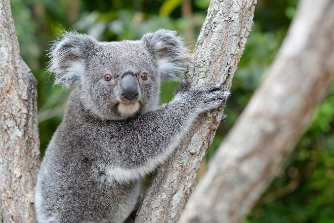 Bert the Koala in a tree looking at the camera.