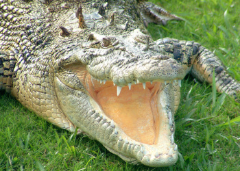 Bindi the Saltwater Crocodiles on the grass with her mouth open.