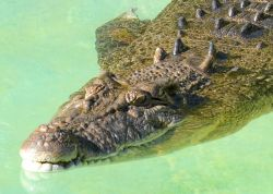 Graham the Saltwater Crocodiles swimming in the water.