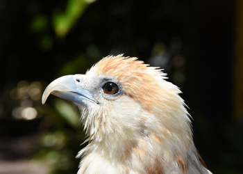 Byron the Brahminy Kite looking up to the right cropped in close.