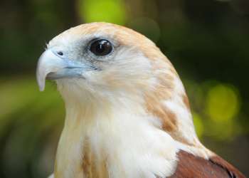 Byron the Brahminy Kite looking to the right at something.