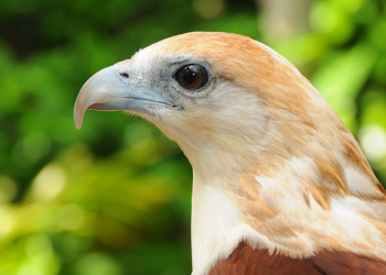 Byron the Brahminy Kite in profile view.
