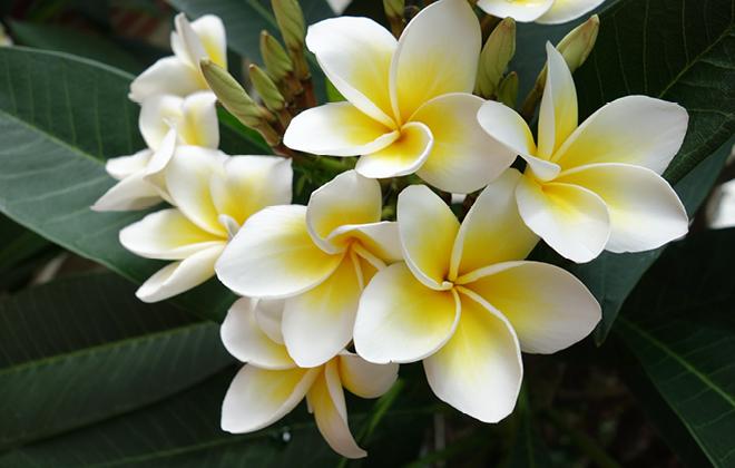 Common Frangipani Flora