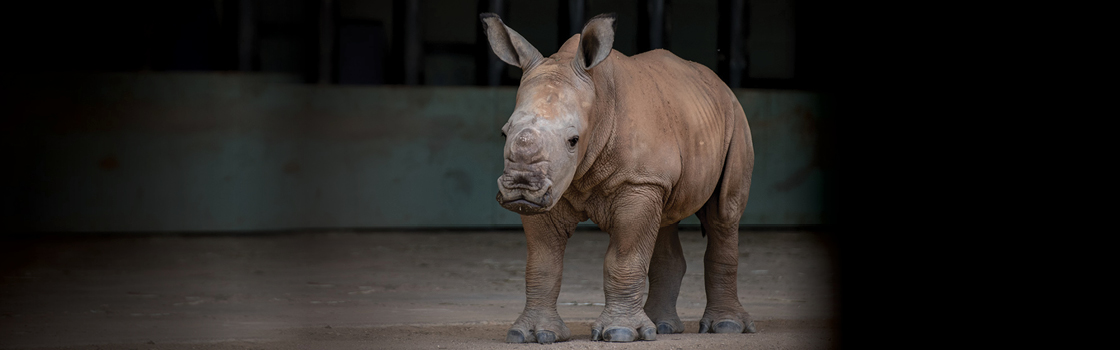 Carrie the Southern White Rhino walking in her home.