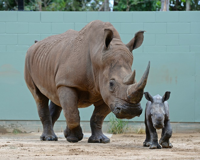Carrie the Southern White Rhino with one of her parents walking.