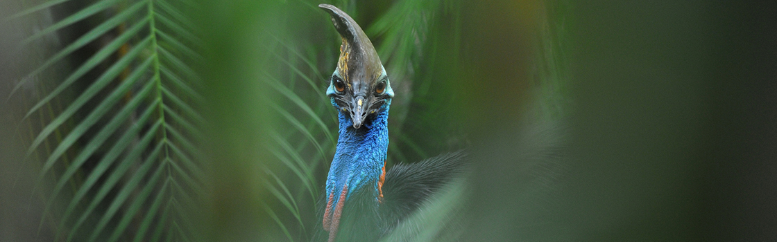 Cassowary from neck up looking at the camera.