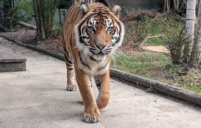 Charlie the Bengal Tiger walking on a path.