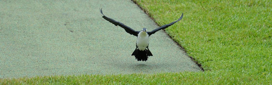Little Pied Cormorant taking off for flight.