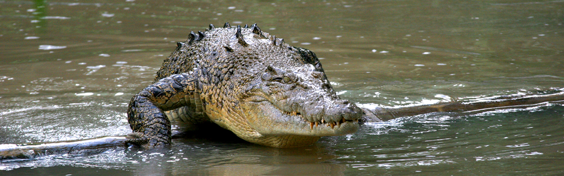 Saltwater Crocodile walking through the water.