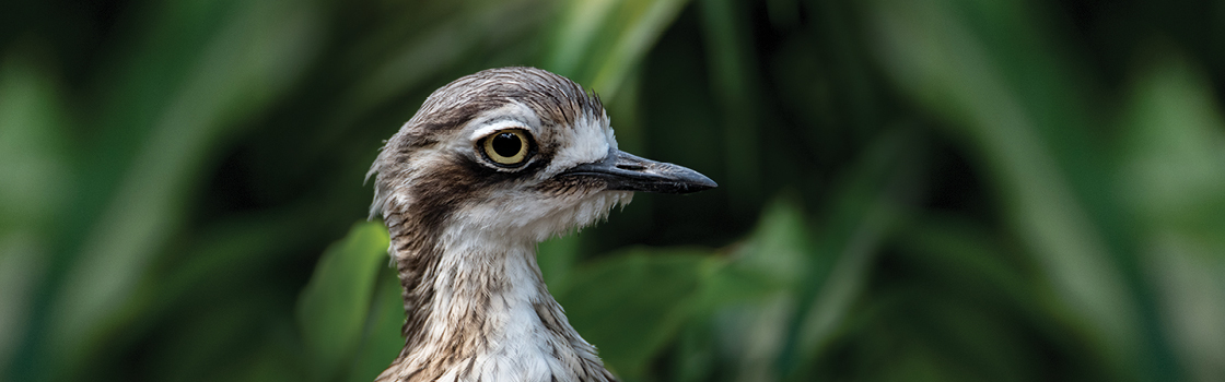 Bush Stone Curlew from neck up looking to the left, greenery in background.