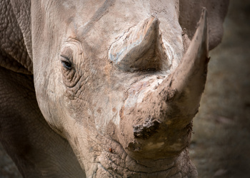 DJ the Southern White Rhino up close to show eye and horn.