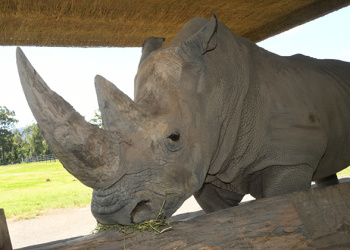 DJ the Southern White Rhino up close in profile view.