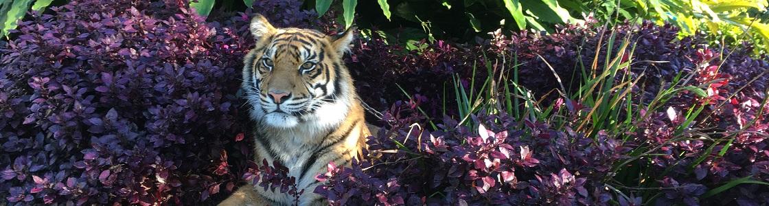 Delilah the Sumatran Tiger laying in a purple bush.