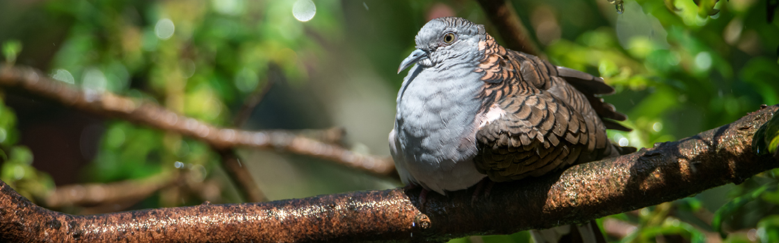 Bar Shouldered Dove sitting on a branch in the tree looking right.