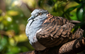 Bar Shouldered Dove sitting on a branch close up showing detail of feathers.